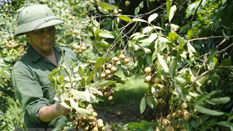 Vietnam parlays success of lychee exports to Singapore